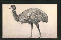 AK Ein Emu Beim Gang - Birds