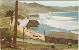 Saint Joseph (Barbade-Petites Antilles) - Bath-Shéba Sur La Côte Atlantique - Moutons Au Ventre Noir - Barbados