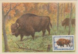 URSS Carte Maximum 1957 Animaux Bison 1907 - 1923-1991 URSS