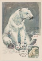 URSS Carte Maximum 1964 Animaux Ours Blanc 2823 - 1923-1991 URSS