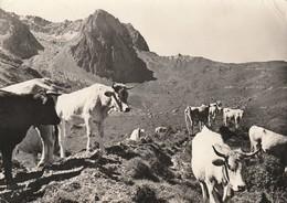 Cpsm  La Mongie Vue Sur Le Col Du Tourmalet  Et Le Pic D'Espade Avec Vaches Aux Alpages - France