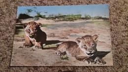 CPSM LION LIONCEAUX FAUNE AFRICAINE CL C I D BRUXELLES ED HOA QUI - Lions