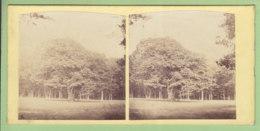 SAINT GERMAIN EN LAYE Vers 1860 - 1870 : Le Chêne Des Loges Dans La Forêt De St Germain  Photo Stéréoscopique. 2 Scans. - Stereoscopic