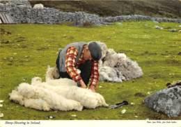 Sheep-Shearing In Ireland - Ireland