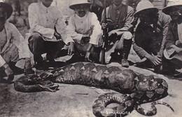SINGAPORE. BIG SNAKE HAS JUSTE EATEN A LOT HUNTED BY A GROUP. CIRCA 1912-RARE- BLEUP - Singapore