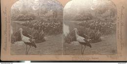 Photo Stéréoscopique Opaque 17,5 X 9 Cm - GB - Stork Kew Gardens - Photos Stéréoscopiques