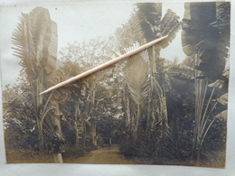 FIDJI ILES  VITI  ARBRE DES VOYAGEURS    PHOTO ORIGINALE  1900  Ref 134 Croiseur PROTET - Fidji