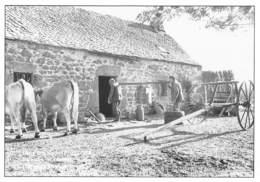 Dans L'Aubrac - La Gerbe Est Remontée Au Buron Pour La Fabrication Du Cantal - France