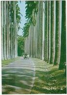 OX CART - Palm Fringed Avenue, Royal Botanic Gardens, Peradeniya - Sri Lanka - Sri Lanka (Ceylon)
