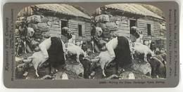 Photo Stéréoscopique : Milkings The Goats, Hardanger, Fjord, Norway ( Norvège, Lait, Chèvre ) - Photos Stéréoscopiques