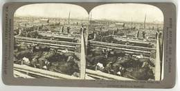 Photo Stéréoscopique : ... Great Union Stock Yards, California ( Boeufs ) - Photos Stéréoscopiques