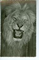 CP Photo Faune Africaine Le Lion  Hoa-Gui Dakar Robel - Lions