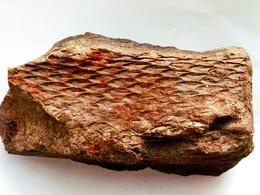 Fossiles Plante Du Carbonifère Carboniferous Plant Lépidodendron Aculaetum Départ 1 € !!!!! - Fossiles