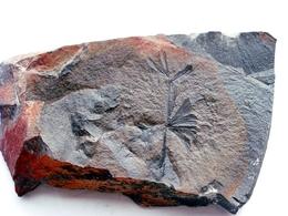 Fossiles Plante Du Carbonifère Carboniferous Plant Sphenophyllum Majus. Départ 1 € !!!!! - Fossiles