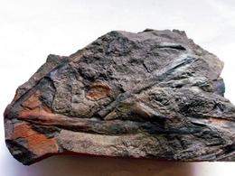 Fossiles Plante Du Carbonifère Carboniferous Plant Cordaïtes Principalis + Cordaicarpus Départ 1 € !!!!! - Fossiles