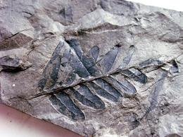 Fossiles Plante Du Carbonifère Carboniferous Plant Neuropteris Tenuifolia Départ 1 € !!!!! - Fossiles