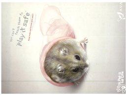 (PCF 21) Mouse - Souris + Condom - Animals