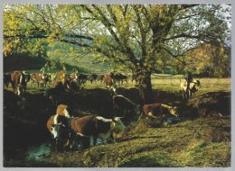 CP SOP 002-Australia, Hereford Cattle On The Move ,Betail En Mouvement +cavalier . Non Circulé-unused - Elevage