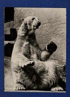 Fauna. White Or Polar Bear. - Orsi