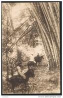 EAST TIMOR Portugues - Trecho De Um Bambual - Bamboo Horse Cheval ( Portugal Colonial - Timor Oriental