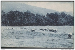 EAST TIMOR Portugues - Um Campo De Pastagem - GOATS GOAT CHEVRE CHEVRE ( Portugal Colonial ) - Timor Oriental