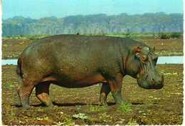Africa/Afrique/Afrika - Ippopotamo/Hippopotamus/Hippopotame/Nilpferd - Autres