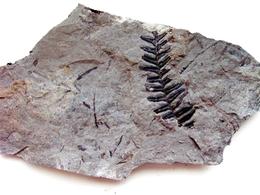 Fossiles Plante Du Carbonifère Carboniferous Plant Alethopteris Missoriensis. Départ 1 € !!!!! - Fossiles