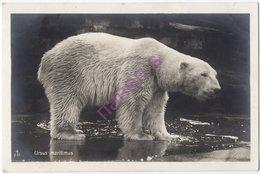 Polar Bear Europe ML - Orsi