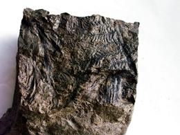 Fossiles Plante Du Carbonifère Carboniferous Plant Senftenbergia Dentata. Départ 1 € !!!!! - Fossiles