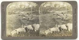 Photo Stéréoscopique - Enfant Et Moutons, Vaches - Photos Stéréoscopiques
