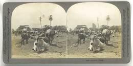 Photo Stéréoscopique - Jamaïca Ozen ( Jamaïque, élevage ) - Photos Stéréoscopiques