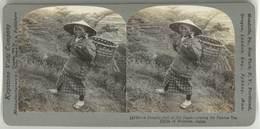 Photo Stéréoscopique - Vieux Japon, Femme De La Campagne, Champ De Thé, Shizuoka - Photos Stéréoscopiques