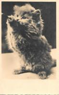 SUPERBE CHAT YLLA - Katten