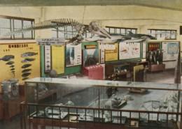 Enoshima Japan Aquarium, Interior View, Skeletons, Whales Dolphins, C1960s Vintage Postcard - Other