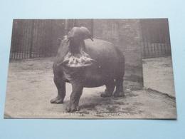 The HIPPOPOTAMUS ( London ZOOLOGICAL Gardens ) Anno 19?? ( See Photo ) ! - Hippopotamuses