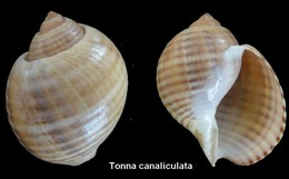 Tonna Canaliculata - Coquillages