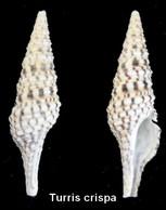 Turris Crispa - Coquillages