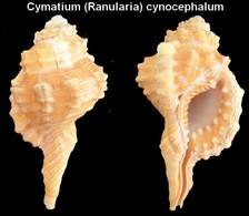 Cymatium (Ranularia) Cynocephalum - Coquillages