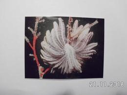 Black Coral Tree. - Micronésie