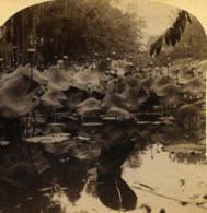 Egypte Le Lotus Du Nil Ancienne Photo Stereo Bierstadt Underwood 1900 - Stereoscopic