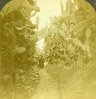 Palestine Avenue De Cactus Vers Le Puits De Cana Ancienne Photo Stereo 1900 - Stereoscopic