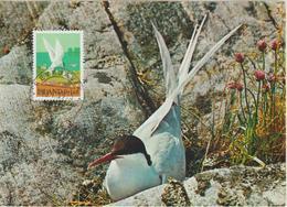 Islande Carte Maximum Oiseau 1972 Sterne 423 - Cartoline Maximum