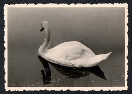 B9988 - TOP Foto - Snapshot Schnappschuß - Schwan Swan - Fotografie