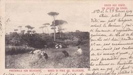 Gruss Aus Grado.Un Saluto Da Urado.Pinienwald Von Belvedere.Bosco Di Pinie Del Belvedere.OBLITERATION HONGRIE 1909 - Italy