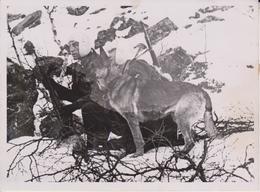 MELDEHUND  FOTO DE PRESSE WW2 WWII WORLD WAR 2 WELTKRIEG Aleman Deutchland - Guerra, Militares