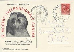 Assa -Li. Shih - Yzu.IV Mostra Internazionale Canina. Dog Exhibition.  1954. Italy -  # 05537 - Dogs
