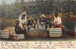 Bermuda / Belle Oblitération - 19 - Packing Onions - - Bermudes