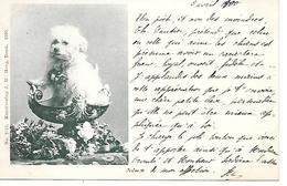 Dog, Hund, Chien, Perro, Cane, Maltese, Bichon, Lion Dog, Löwchen / 1900 - Dogs