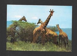 ANIMAUX - ANIMALS - GIRAFES  GIRAFFES - EAST AFRICA - PAR FRANK LTD. - Girafes