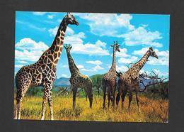 ANIMAUX - ANIMALS - GIRAFES  GIRAFFES - MOMBASA KENYA - PHOTO BY DINO SASSI - Girafes